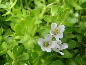 English: Bacopa monnieri (flowers). Location: ...