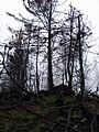 Starr 070908-9143 Pinus sp..jpg