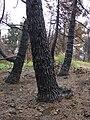 Starr 070908-9164 Pinus sp..jpg