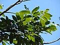 Starr 070910-9471 Dimocarpus longan.jpg