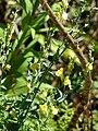 Starr 071024-0260 Linaria dalmatica.jpg