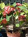 Starr 080531-4966 Euphorbia milii.jpg