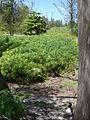 Starr 080610-8391 Cyperus involucratus.jpg