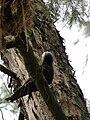 Starr 080614-8911 Casuarina equisetifolia.jpg