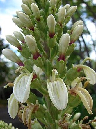 Lobelia - Lobelia boninensis