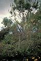 Starr 980529-4369 Pouteria campechiana.jpg