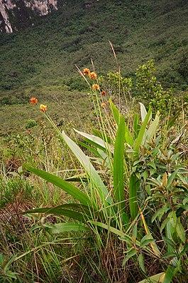 Stegolepis guianensis am Roraima-Tepui in Venezuela