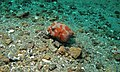 Stellate Puffer (Arothron stellatus) juvenile (8455789961).jpg