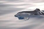 Stenella frontalis DSC 0236.JPG