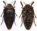 Sternocera pulchra - 10-01-13 - Dodoma - Tanzania (10760655906).jpg