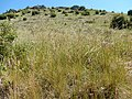 Stipa richardsonii (35866841196).jpg