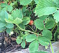 Strawberry Plant in early June.JPG