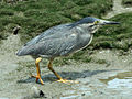 Striated Heron RWD.jpg