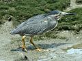 Striated Heron RWD.jpg