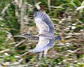 Striated heron in flight, Ibera - Flickr - Lip Kee.jpg