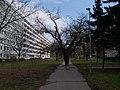 Strom v chodníku, pohled od ulice Za invalidovnou.jpg