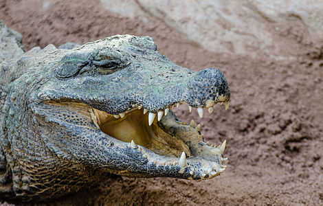 Dwarf crocodile (Osteolaemus tetraspis) photographed at Bioparc in Fuengirola, Andalusia