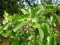 Styrax officinalis 1c.JPG