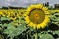 Sunflowers cultivated in Southern France 07.jpg