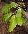 Syzygium cumini 01.JPG