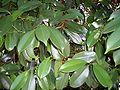 Syzygium papyraceum leaves.JPG