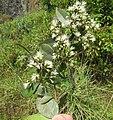 Syzygium zeylanicum flowers 52.jpg