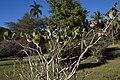 Tabernaemontana apoda CF9A3530.jpg