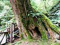 Taiwan Red Cypress 紅檜 Chamaecyparis formosensis - panoramio.jpg