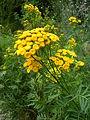 Tanacetum vulgare BOGA 1.jpg