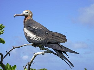 Bokak Atoll - Female frigatebird on Sibylla Island.