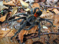 Tarantula (11164513816).jpg