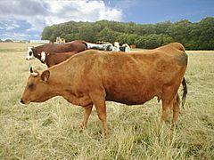 vache vache