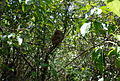 Tarsius syrichta11.jpg