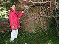 Taxus baccata JPG2A.jpg