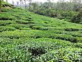 Tea Plantations, wayanad - panoramio (11).jpg