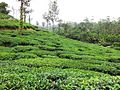Tea Plantations, wayanad - panoramio (8).jpg