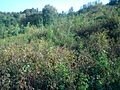 Tea Plants - panoramio.jpg