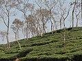 Tea gardens Srimangal Sreemangal Upazila Moulvibazar Maulvibazar Moulavibazar Sylhet 06.jpg
