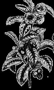 Imagenes sobre el Te 180px-Tea_plant_drawing