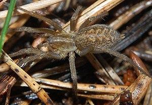 Agelenidae - Eratigena agrestis, the hobo spider