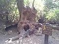 Tel dan winny the poh tree.jpg