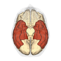 Temporal lobe - inferior view2.png