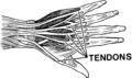 Tendon (PSF).png