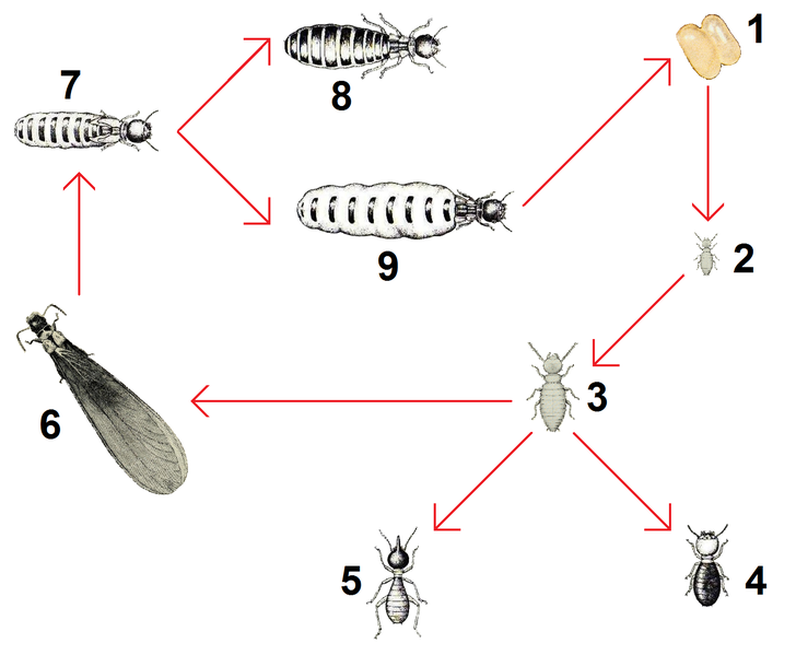 File:Termites polymorphism final tags.png