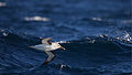 Thalassarche bulleri in flight 4 - SE Tasmania.jpg