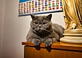 The British Shorthair Feronia on August 23, 2020.jpg
