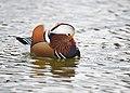 The Mandarin Duck of St. Ferdinand Park (45042672834).jpg