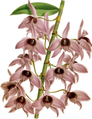The Orchid Album-01-0128-0042-Dendrobium macrophyllum-crop.png