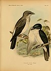 The birds of Celebes and the neighbouring islands (1898) (14568893517).jpg