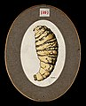 The older larva of the fly Dermatobia cyaniventris. Coloured Wellcome V0022576ER.jpg